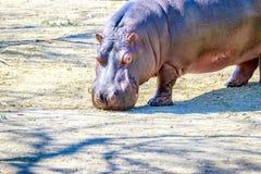 El hipopótamo camina en la tierra Imagen de archivo libre de regalías