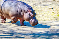 El hipopótamo camina en la tierra Imágenes de archivo libres de regalías