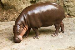 El hipopótamo come la hierba Fotografía de archivo libre de regalías