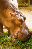 El hipopótamo come la hierba en el chiangmai Tailandia del parque zoológico del chiangmai Imagen de archivo