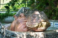 El hipopótamo en el parque zoológico Fotos de archivo libres de regalías