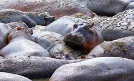 El hipopótamo está mirando la cámara mientras que pone con un grupo grande del hipopótamo imágenes de archivo libres de regalías