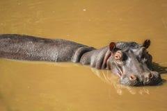El hipopótamo grande se sumergió en el río en Serengeti Fotos de archivo