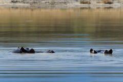 El hipopótamo observa Botswana por encima de la superficie Moremi África Fotos de archivo