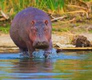 Hipopótamo Foto de archivo libre de regalías