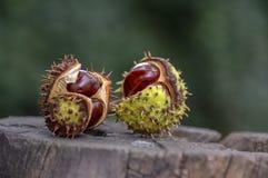 El hippocastanum del Aesculus, castañas de Indias f marrones, árbol del conker maduró las frutas en tocón de madera imagen de archivo