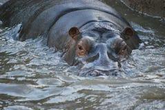 El hippopotamus en agua Imagen de archivo