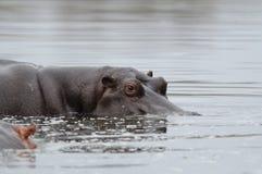 El Hippopotamus está mirando fuera del agua Fotos de archivo libres de regalías
