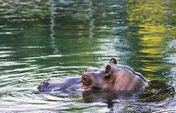 El hippopotamus o el hipopótamo Foto de archivo libre de regalías