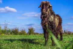 El hircus enano blanco y negro del aegagrus del Capra de la cabra que presenta delante de los granjeros coloca con una cerca en e Imagen de archivo libre de regalías