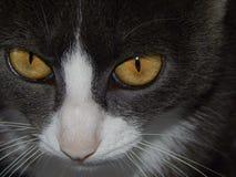 El hocico del gato con amarillo observa el primer foto de archivo libre de regalías