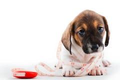 El hogar del perrito del perro basset equipa calidad del estudio fotos de archivo libres de regalías