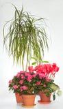 El hogar planta el grupo (azalea, Dracaena, Cyclamen) Fotos de archivo