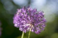 El hollandicum del allium, grupo de cebolla ornamental persa púrpura florece en la floración Foto de archivo
