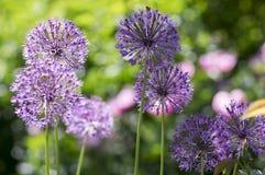 El hollandicum del allium, grupo de cebolla ornamental persa púrpura florece en la floración Imágenes de archivo libres de regalías