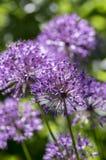El hollandicum del allium, grupo de cebolla ornamental persa púrpura florece en la floración Fotografía de archivo