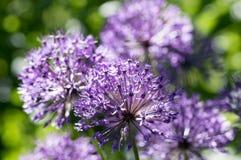 El hollandicum del allium, grupo de cebolla ornamental persa púrpura florece en la floración Fotos de archivo
