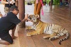 El hombre alimenta el tigre indochino con leche de una botella en Kanchanaburi, Tailandia Imágenes de archivo libres de regalías