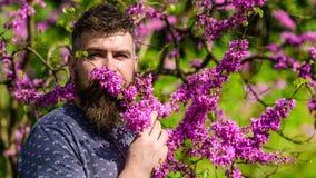El hombre barbudo con corte de pelo fresco huele la floración del árbol de judas Perfumería y concepto de la fragancia Hombre con imagen de archivo
