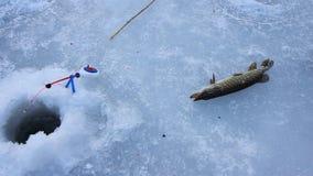 El hombre cogió el lucio en el hielo sirva los controles el lucio en su pesca del invierno de las manos almacen de metraje de vídeo