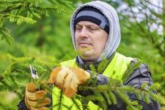 El hombre con las tijeras podó ramas spruce en bosque Imagenes de archivo