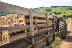 El hombre conduce un tractor cargado con las cajas de madera en un viñedo imagen de archivo libre de regalías