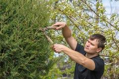 El hombre cortó las ramas de un árbol conífero, formando una corona, en su cabaña del verano Fotografía de archivo