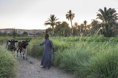 El hombre de Nubian que trae su ganado detrás se dirige en la oscuridad, Asuán, Egipto fotografía de archivo