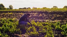 El hombre del granjero rasga el alazán de las camas y recoge las hojas en un manojo fotos de archivo libres de regalías