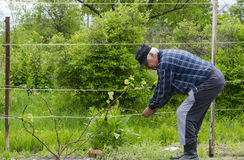 El hombre en el país aumenta las uvas Fotos de archivo libres de regalías