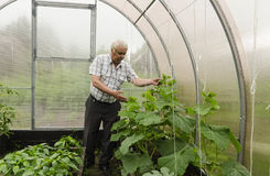 El hombre en el país muestra los almácigos del pepino del invernadero Imagen de archivo