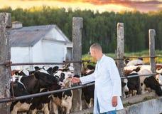 El hombre en una capa blanca en vacas cultiva Imágenes de archivo libres de regalías