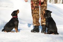 El hombre entrena a dos perritos de un Jagdterrier foto de archivo libre de regalías