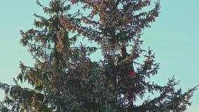 El hombre está aserrando un árbol de abeto con una motosierra almacen de metraje de vídeo