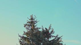 El hombre está aserrando un árbol de abeto con una motosierra metrajes