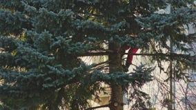 El hombre está aserrando un árbol de abeto con una motosierra almacen de video