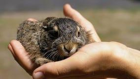 El hombre está sosteniendo un pequeño conejito mullido salvaje del bebé Poco conejito en la palma Cámara lenta metrajes