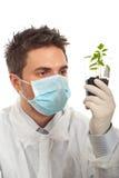 El hombre examina las nuevas plantas de tomate Fotos de archivo libres de regalías