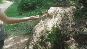 El hombre joven en el bosque alimenta la ardilla listada con sus manos, después lo asusta almacen de metraje de vídeo