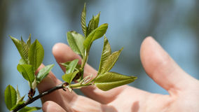 El hombre joven está llevando a cabo una rama con las hojas en su mano durante la primavera Foto de archivo libre de regalías