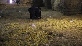 El hombre lanza los anadones en una granja almacen de metraje de vídeo