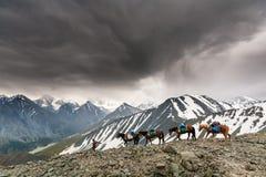 El hombre lleva varios caballos en la alta montaña foto de archivo