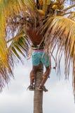 El hombre local está cosechando los cocos en La Habana fotos de archivo