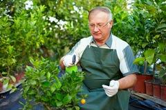 El hombre mayor cuida para las plantas de la fruta cítrica en invernadero Fotos de archivo libres de regalías