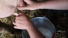 El hombre ordeña una vaca almacen de video