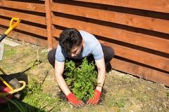 El hombre planta el thuja en un jardín imagen de archivo