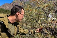 El hombre recoge las bayas espino amarillas en las montañas Foto de archivo libre de regalías