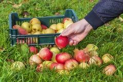 El hombre recoge manzanas en hierba Imagen de archivo libre de regalías