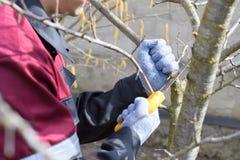 el hombre redujo una rama de árbol con un jardín de la mano vio Árboles frutales de la poda en el jardín imágenes de archivo libres de regalías