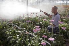 El hombre rocía las flores rosadas en invernadero Imágenes de archivo libres de regalías